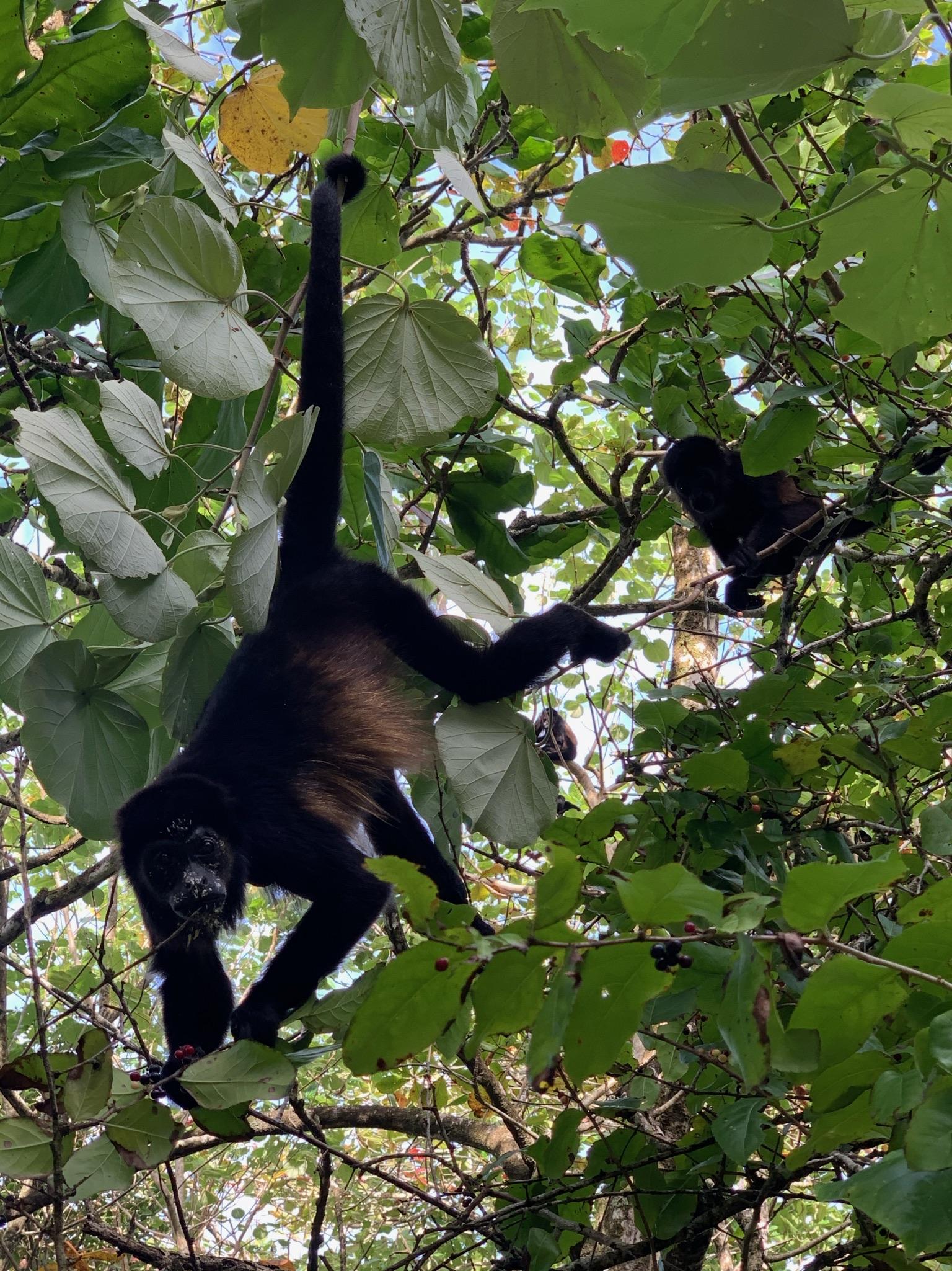 monkey Bocas del toro